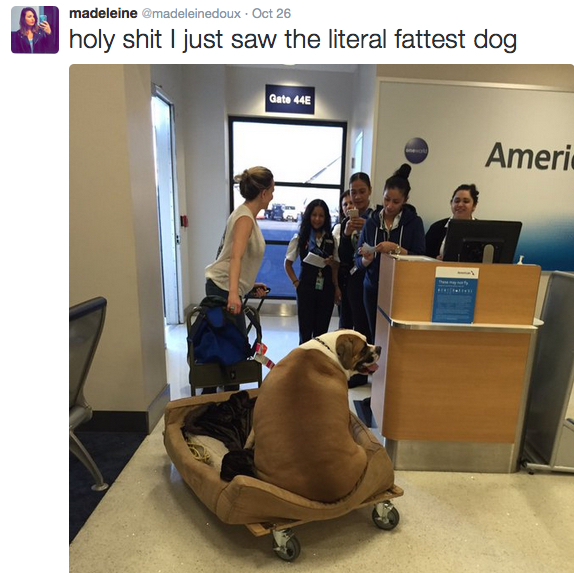 Emotional Baggage Of A Special Kind Woman Carries Huge Dog On American Airlines First Class Loyaltylobby